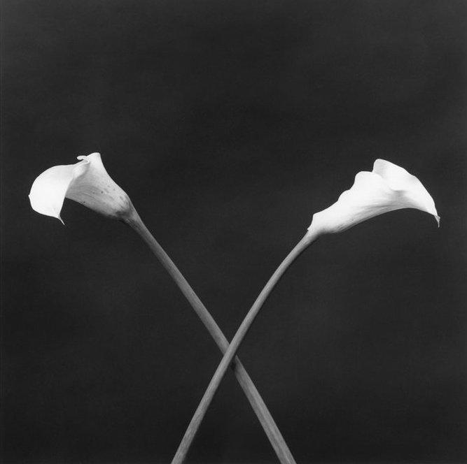Mappelthorpe   calla lilies 1983